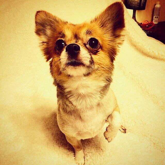 Чихуа-хуа - маленькая собачка, нуждающаяся в вашей заботе