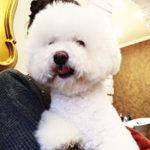 Стрижка собак в салоне: бишон фризе