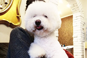 Стрижка собак: бишон фризе