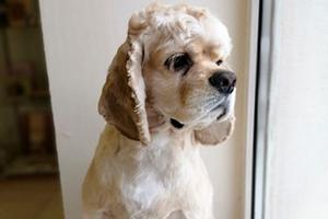 Стрижка собак: кокер спаниель