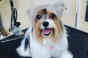 Стрижка собак: бивер йорк