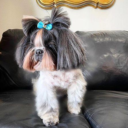 Модные стрижки для собак - отражение в совершенном воплощении, это всегда огромный выбор стрижек